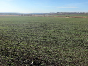 Визуальные наблюдения за состоянием посевов перед уходом в зиму. Вид на поле