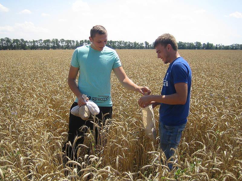 Сотрудники отдела применения удобрений и опытов проводят биологический учёт урожая на производственном опыте