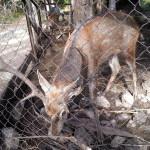 Яростный олень в заповеднике