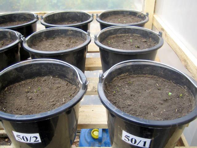 В данный период наблюдается появление всходов озимого рапса и озимой пшеницы