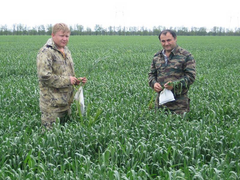 Главный агрохимик отдела применения удобрений и опытов Давыдов В.Е. и агрохимик II категории Фильчев М.И. отбирают образцы растений
