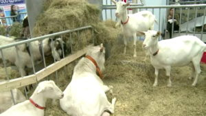 Павильон животноводства