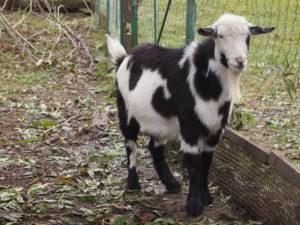 Пятнистый горный козёл