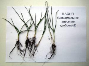 Образцы озимой пшеницы отобранные на варианте с максимальным внесением удобрений