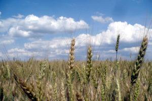 Созревающая пшеница. Шпаковский район
