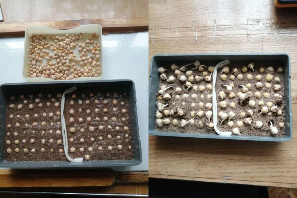 Определение всхожести и энергии прорастания в семенах нута