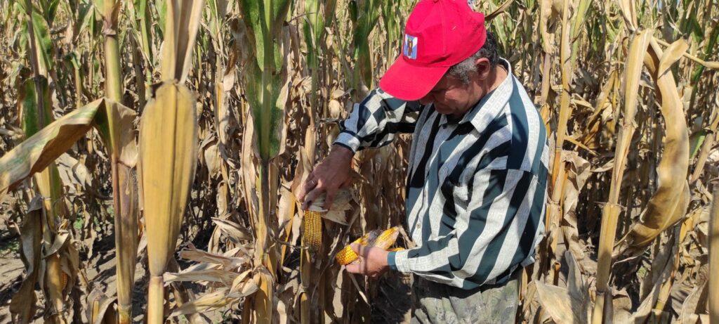Биологический учёт на посевах кукурузы