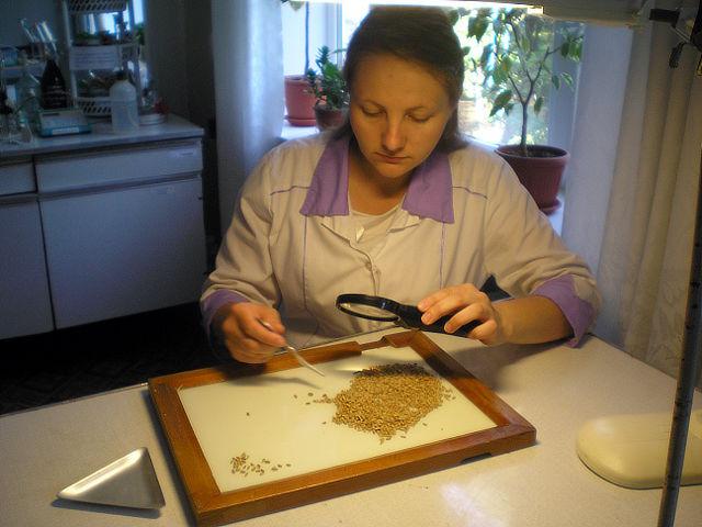 Определение количества пораженного фузариозом зерна. Агрохимик I категории ‑ Токарева  Е.В.