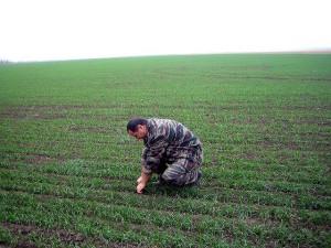 главный агрохимик отдела ПУиО Давыдов В.Е. проводит обследование посевов перед уходом в зиму
