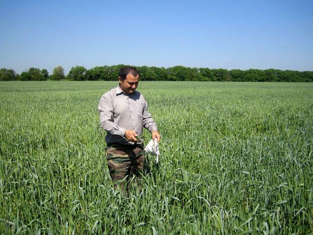 Внекорневая подкормка озимой пшеницы