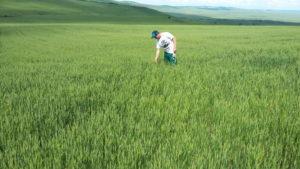 Отбор растительных проб осуществляет ведущий агрохимик Олейников А.Ю.