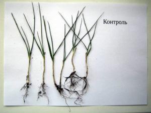 Образцы озимой пшеницы отобранные на контроле