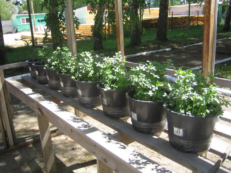 Вегетационные сосуды с посевами люцерны