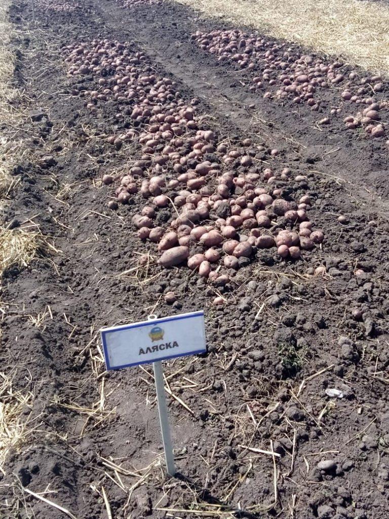 Картофель, сорт Аляска