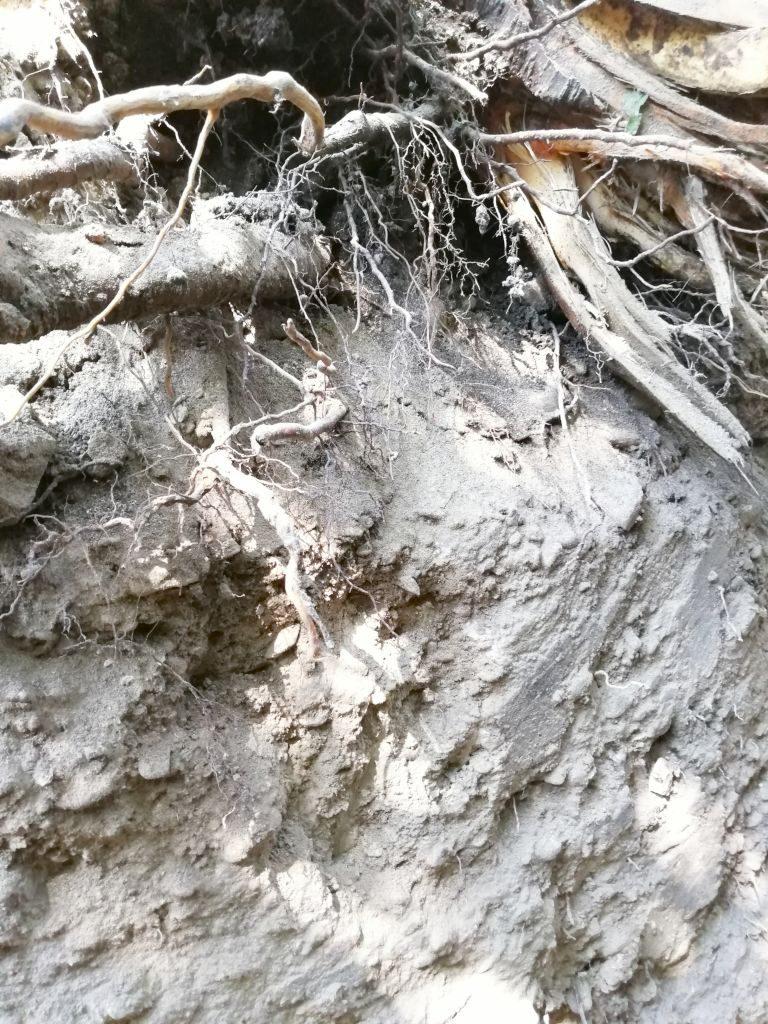 Поверхностное распространение корней черешни в профиле скелетных чернозёмов