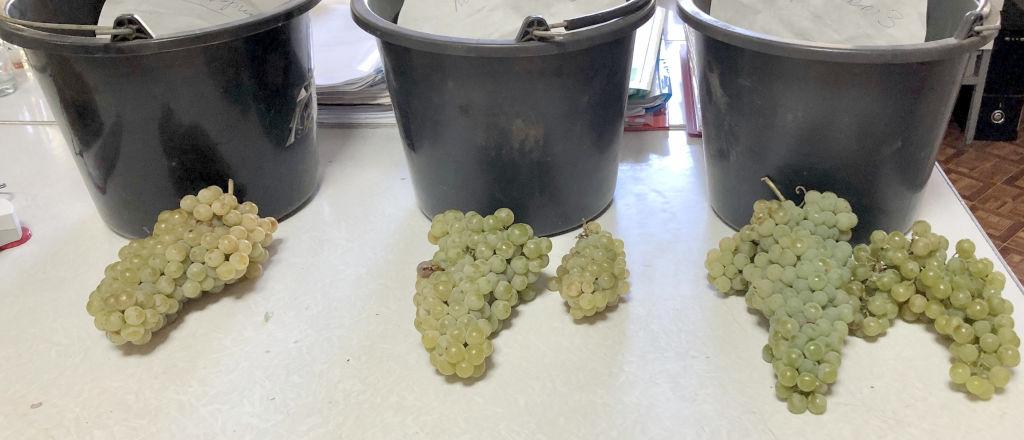 Пробы винограда технического сорта Цитронный Магарача