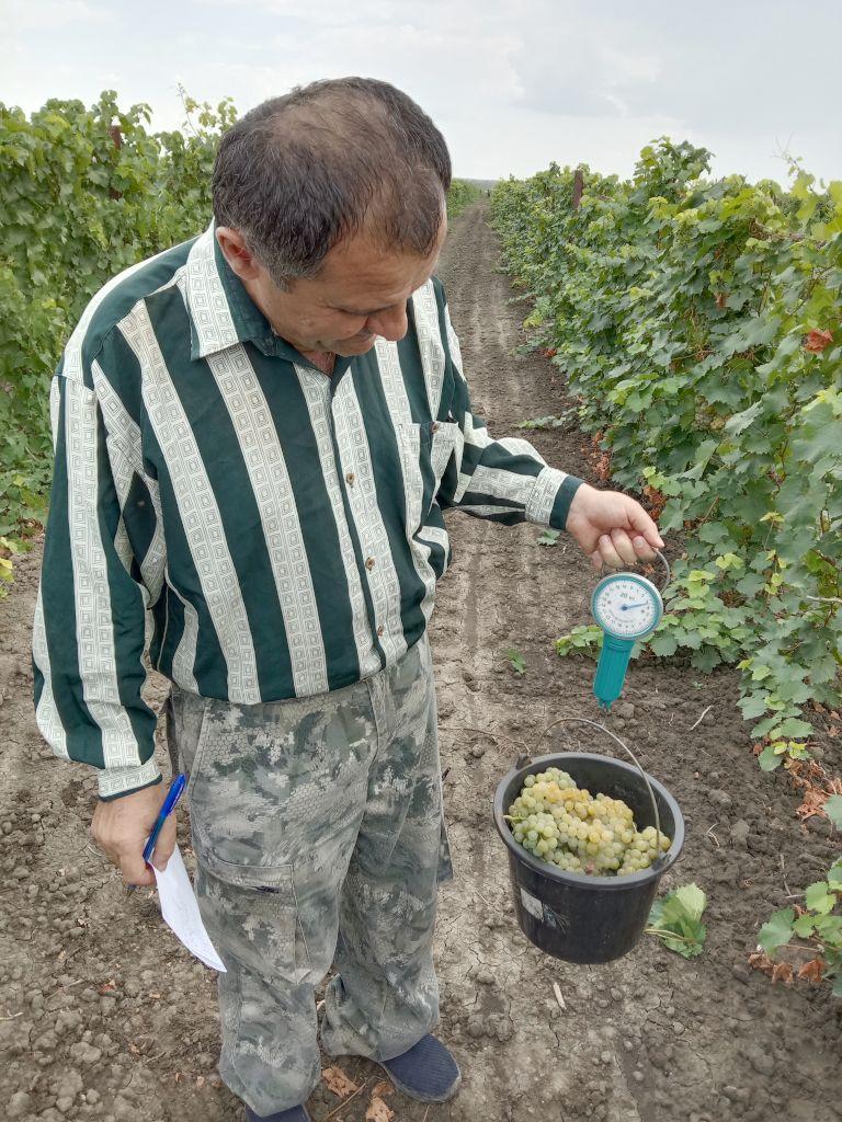 Главный агрохимик Владимир Давыдов производит определение веса с учётной делянки опыта